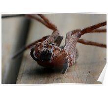 Huntsman Spider, Isopeda vasta Poster