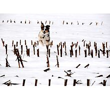 Dog In Corn Photographic Print