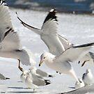 Gulls in Flight by Eva Saether