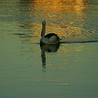 Pelican in golden light on the water by Samantha  Goode