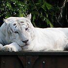 White tiger, Dreamworld by Mel1973