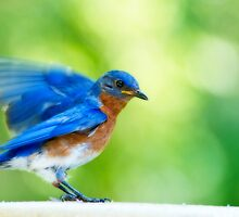 Eastern Bluebird Male with Orton Effect by Bonnie T.  Barry