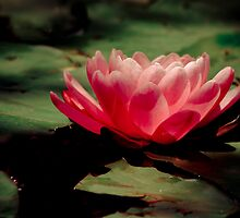 Water Lily by Natalie Manuel