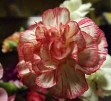 Red and White Carnation by lornakay