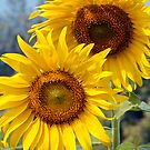 Sunflower V by Dave Lloyd