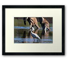 Royal Spoonbill, Platalea regia Framed Print