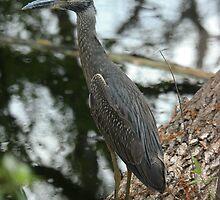 Young Heron On the Hunt by Karen Kaleta