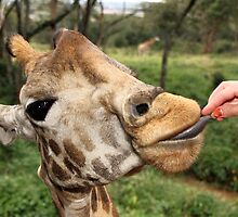 Rothschild's Giraffe Eating From The Hand, Giraffe Centre, Nairobi, Kenya by Carole-Anne