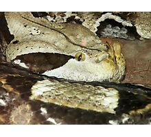 Gaboon Viper Photographic Print