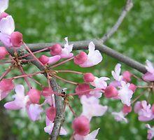 Flowering Redbud by KateLinden