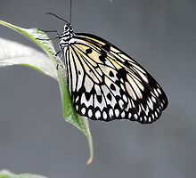 Rice Paper Butterfly by Anne Smyth