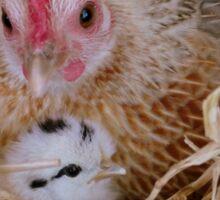 My Little Fluff Ball - Hen & Chick NZ Sticker
