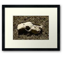 Cow Skull in a Field Framed Print