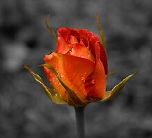 Solitary rose. by Steve Chapple