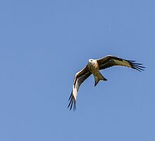 Red Kite Soaring by mikey2000