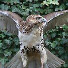 Red-tailed Hawk by eelsblueEllen