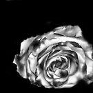 Dream Rose in B&W by pdsfotoart