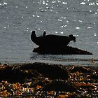 Common Seal Relaxing, Arran by Richard Ion