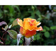 Rose n Rain Photographic Print