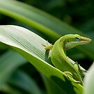 The Green Anole by Danny Work
