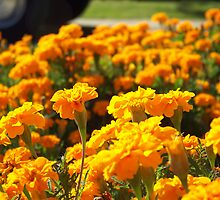 Marigolds by Severin