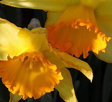 Daffodils...... by DonnaMoore