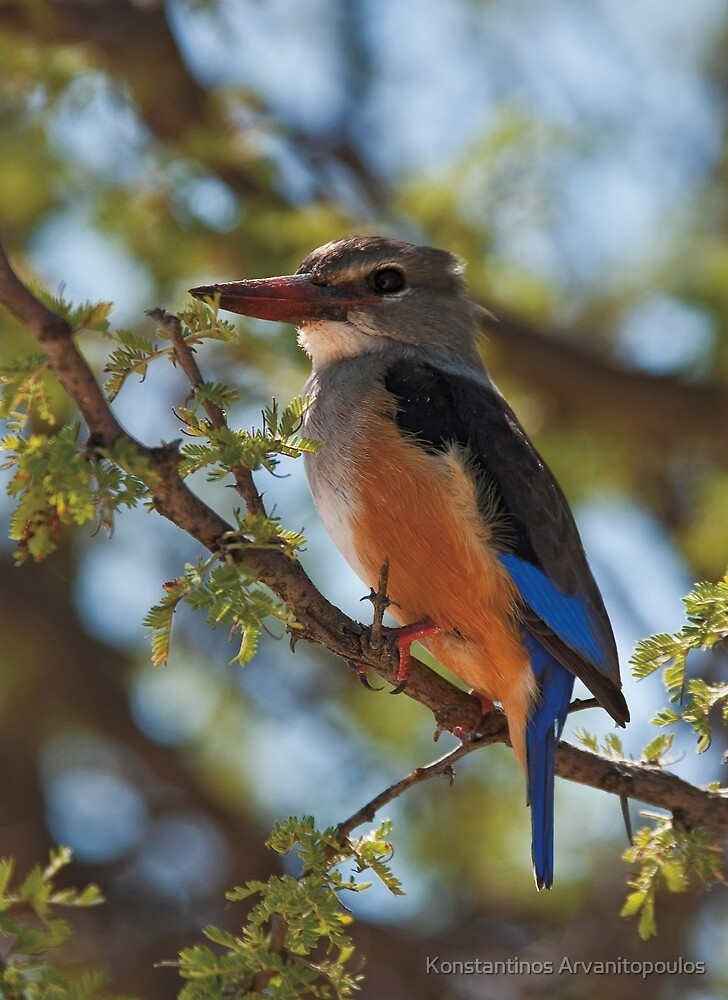Gray-hooded Kingfisher (Halcyon leucocephala) by Konstantinos Arvanitopoulos