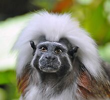 Cotton-Top Tamarin by Savannah Gibbs