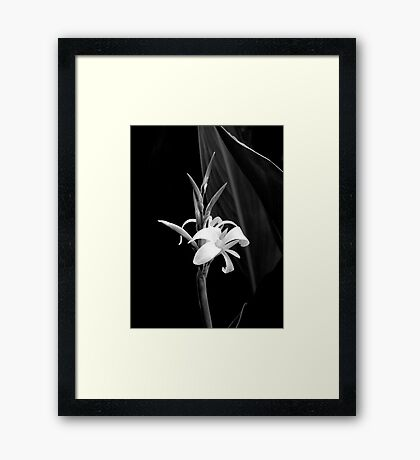 Canna Lily in Black & White Framed Print