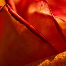 Rose petals by PhotosByHealy
