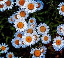 Daisy Mae by Jon Burch