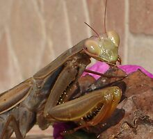 Mantis Religiosa: The Praying Mantis by taiche