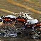 Eastern Painted Turtle (Chrysemys picta picta) by Bine