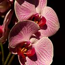 Pink Orchid by Jeremy Owen