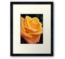 Yellow blushing rose Framed Print