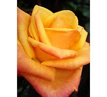 Yellow blushing rose Photographic Print