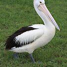 Pelican Walk by Kelly Robinson
