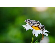 Little frog on a camomile Photographic Print