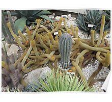 Saguaro Cactus,  New York Botanical Garden, Bronx, New York Poster