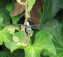 Blue Flicker Dragon Fly on Ivy by photroen