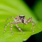 Bronze Aussie Jumping Spider by Andrew Trevor-Jones
