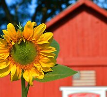 Sunflower and Red Barn by Catherine Sherman