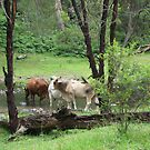 Cows at stream crossing, Gordon Country. Qld, Australia by Marilyn Baldey