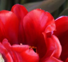 LUSCIOUS SOFT RED TULIPS Sticker
