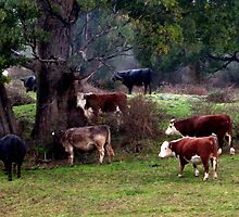 Cows sheltering under a trees in Tasmania. Australia by Marilyn Baldey