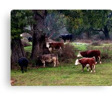Cows sheltering under a trees in Tasmania. Australia Canvas Print