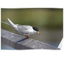 Tern at HB wetlands Poster