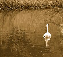 Solitary Swan by Ryan Dronsfield