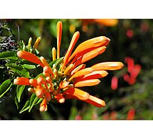 Flame Vine Photographic Print
