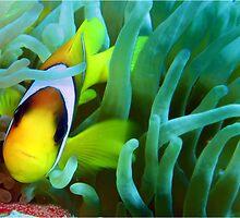 Anenome Fish Gordon Reef Sharm El Sheikh by Steve  Elliott